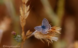 Butterfly blue - wallpaper by kayaksailor