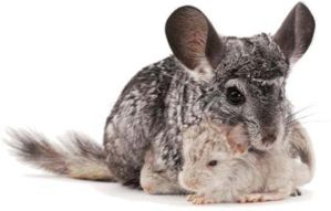 chinchilla and babies by martyart21