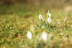 snowdrops in my garden by Nexu4