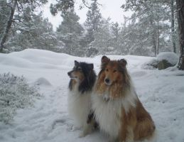 Snow Collies by 116802