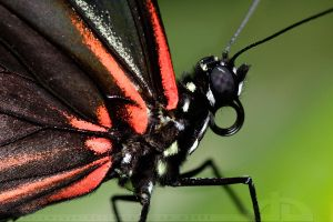 Heliconius erato by thrumyeye
