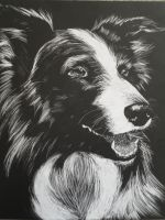 Scratchboard: Border Collie by combototheoblivion