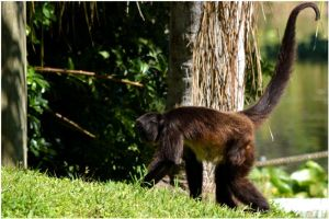 Real Spider Monkey 02 by Skip1967