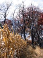 Corn Wheat Tree and sky by oldsoulmasquer
