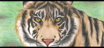 Tiger Face by Griinz