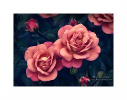Two Roses by Karl-B