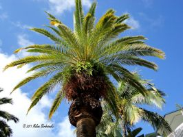 Key West Palm Tree by aperfectmjk