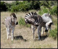 Playful Zebras 2 by mikewilson83