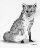 Grey Fox by Glaiceana