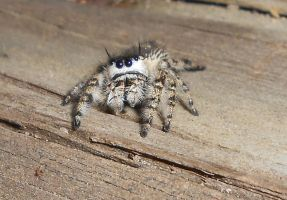 Jumping Spider by Cleopatrawolf