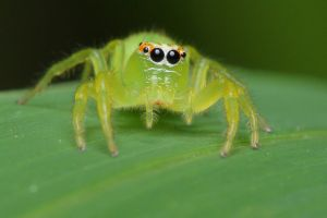 green jumping spider closeup by troypiggo