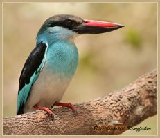 Blue-breasted Kingfisher by Jamie-MacArthur