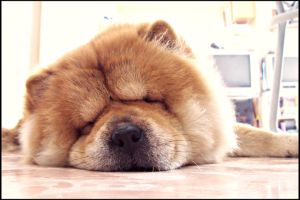 Chow chow 1 by WeiTat