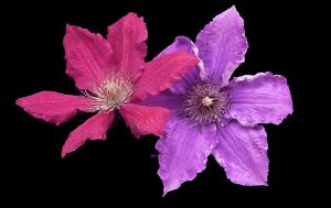 Clematis Colours by lovingenglish