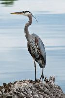 Great Blue Heron No. 1 by Katastrophey