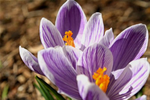 Crocus by PeregrineEagle