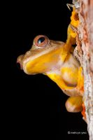 Twin-spotted Flying Frog (Rhacophorus bipunctatus) by melvynyeo