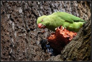 Wild Parakeet by nitsch