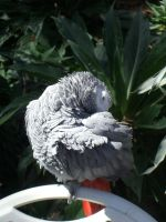 African Gray by Cokkii