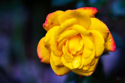 Yellow Rose by prometeusx