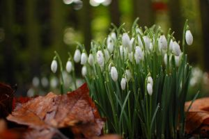 Snowdrops by B-Gryph