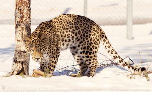 Leopard in the snow. by Ravenith