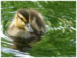 Duckling 2 by aleania