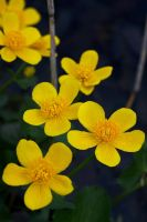 March-marigold by perost
