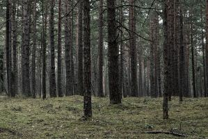 Pine forest by Whimish