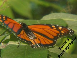 Monarch Butterfly by Sariebear20