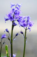 Bluebells by lonesomeaesthetic