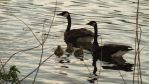 Allegheny River Geese by mjb1225