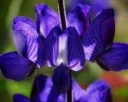 Blue Lupine by lonelywolf9999