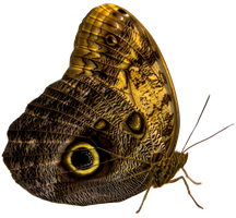 Owl Butterfly Free Stock Precut 22MP Canon 5DMK3 by TMProjection