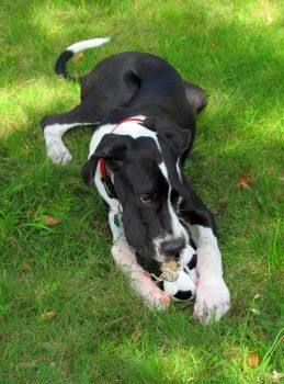 Sarge the Great Dane by Moohhh