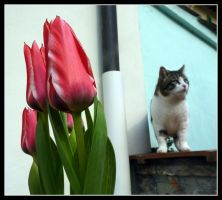 Lillo and tulips by kanes