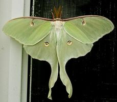 Moth 2 STOCK by Penny-Stock