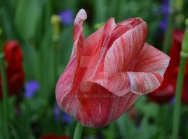 Nashville Red Tulip Two by archaeopat