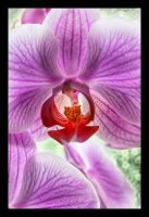 Moth Orchid by carlzon