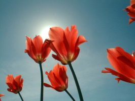 Red Tulips by mrjmb