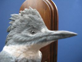 Belted Kingfisher 2 by Bagheera3