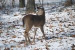 Deer Snow Stock Image 01 by StockImages