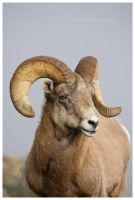 Rocky Mountain Bighorn by Nate-Zeman