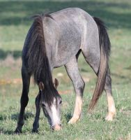 Blue Roan Colt 7 by How-You-Remind-Me