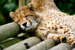 Snoozing Cheetah Cub by McProbius