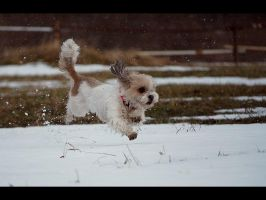 Flying lhasa apso by Pawkeye