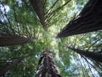 Towering Redwoods by Imthenats