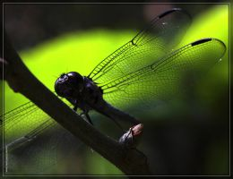 Dragonfly_40D0041492 by Cristian-M