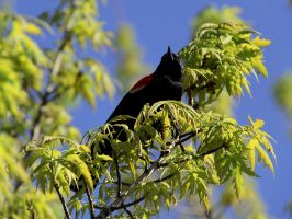 Red-Winged Blackbird by KMourzenko