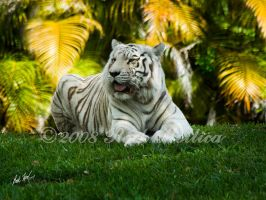 White Tiger by SteelCowboy